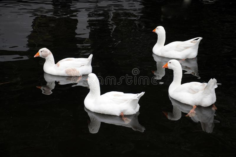 Four white ducks swimming in a lake in calm black water stock images