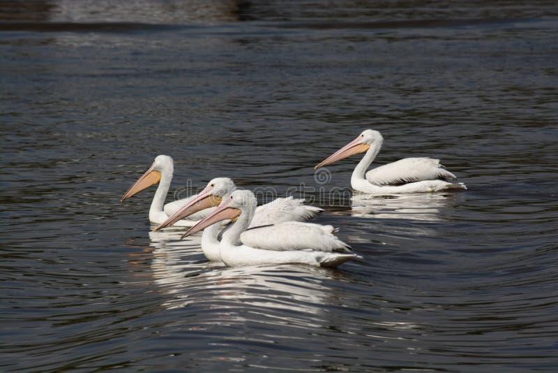 Four White pelicans stock photo