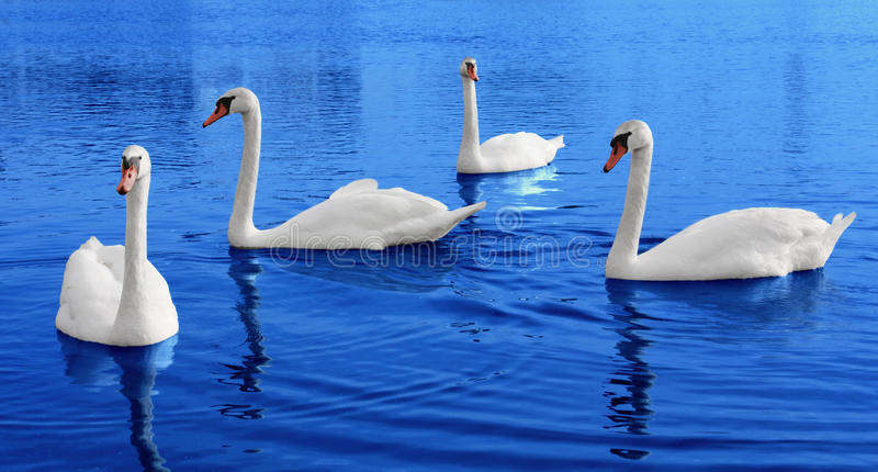 Four white swans floats in blue water