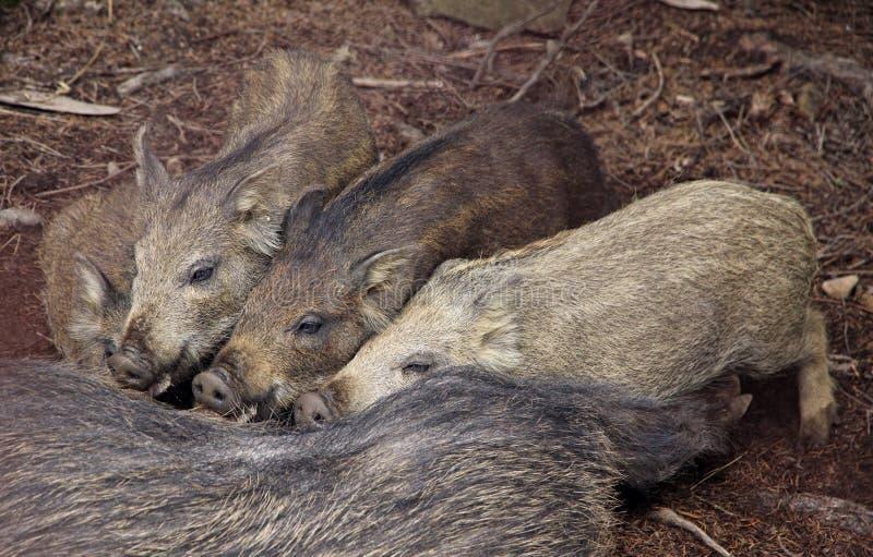 Download Four Wild Boars Sucking Milk Stock Photo - Image: 26525000