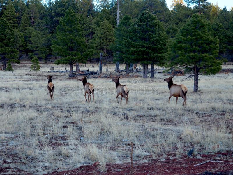 Four Wild Deer Running in a Meadow in Arizona royalty free stock photos