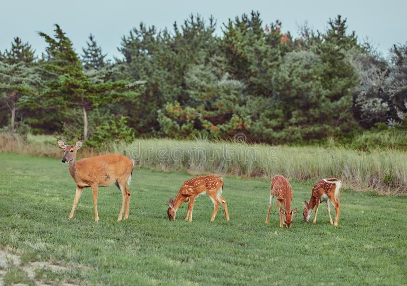 Four Wild deers outdoors in forest eating grass fearless beautiful and cute stock image