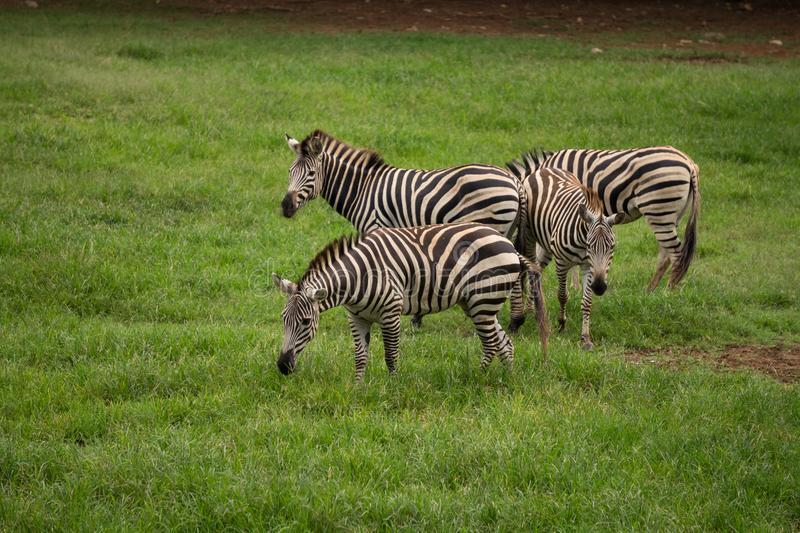 Four wild zebras on meadow like horse with black and white lines on its body royalty free stock photo