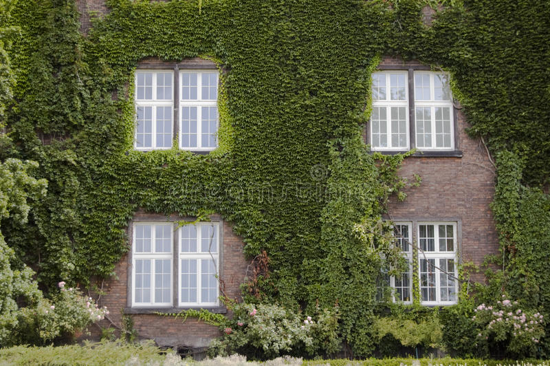 Download Four Windows And Wall Covered In Ivy Leaves Stock Image - Image: 13568515