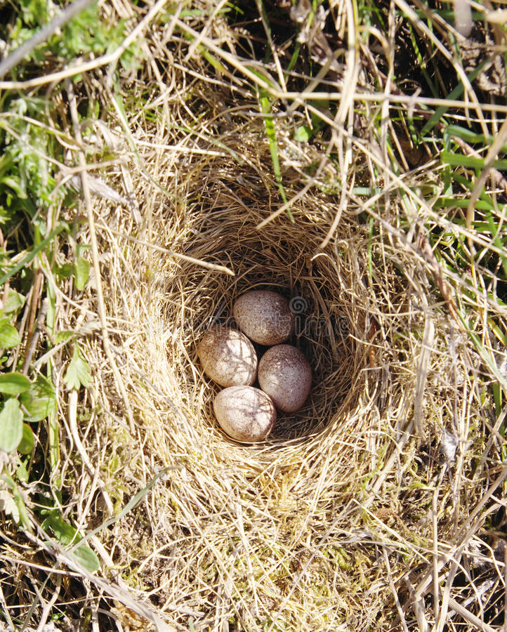 Four woodlark eggs in nest on ground royalty free stock image