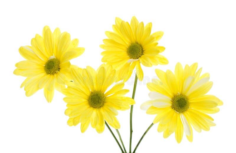 Four Yellow Shasta Daisy Flowers Isolated on White stock image