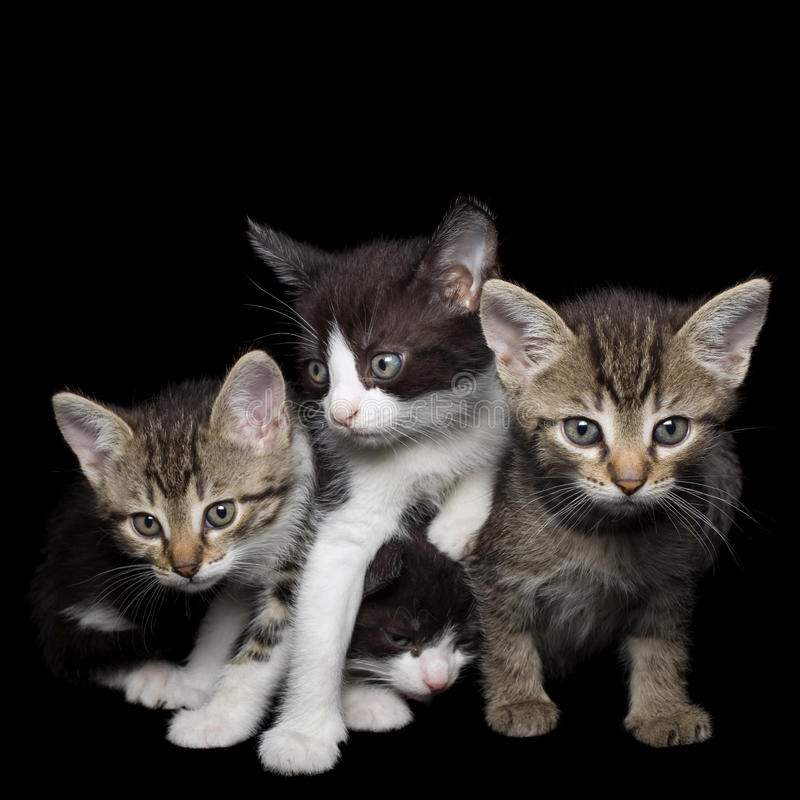 Four Young Cats. Four Young Kittens Isolated on Black Background royalty free stock image