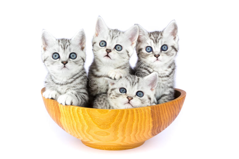Four young cats sitting in wooden bowl on white royalty free stock photography