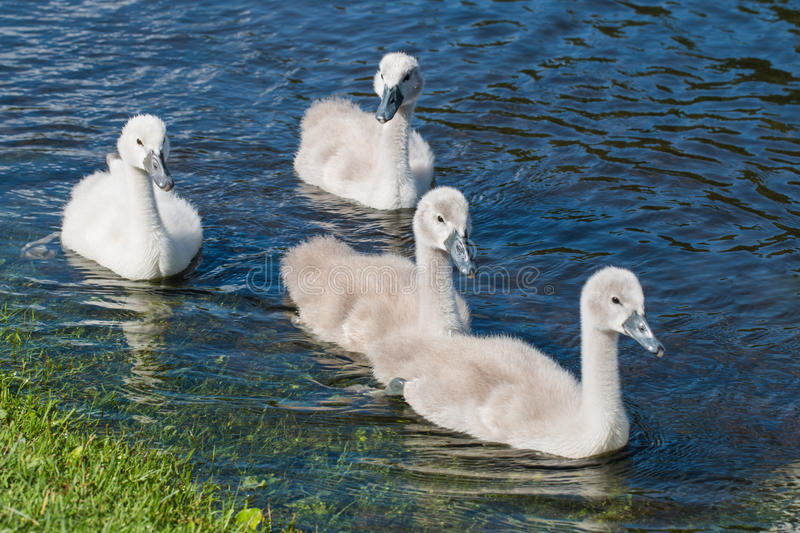 Four young cygnets of mute swan swimming in a lake.  stock photo