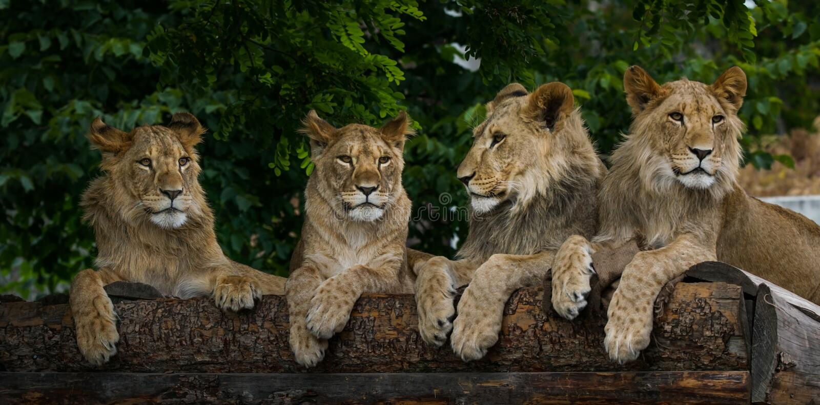 Four young lions stock photos