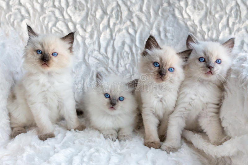 Four young Ragdoll cats sitting in a row stock photo