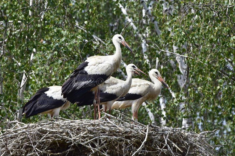 Four young storks in nest day before first flight royalty free stock images
