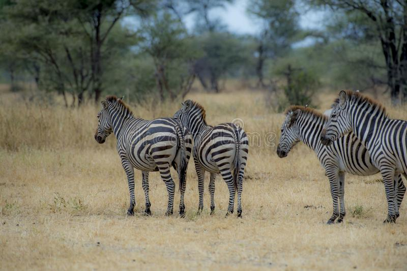 Four Zebra with backs to camera standing stock images