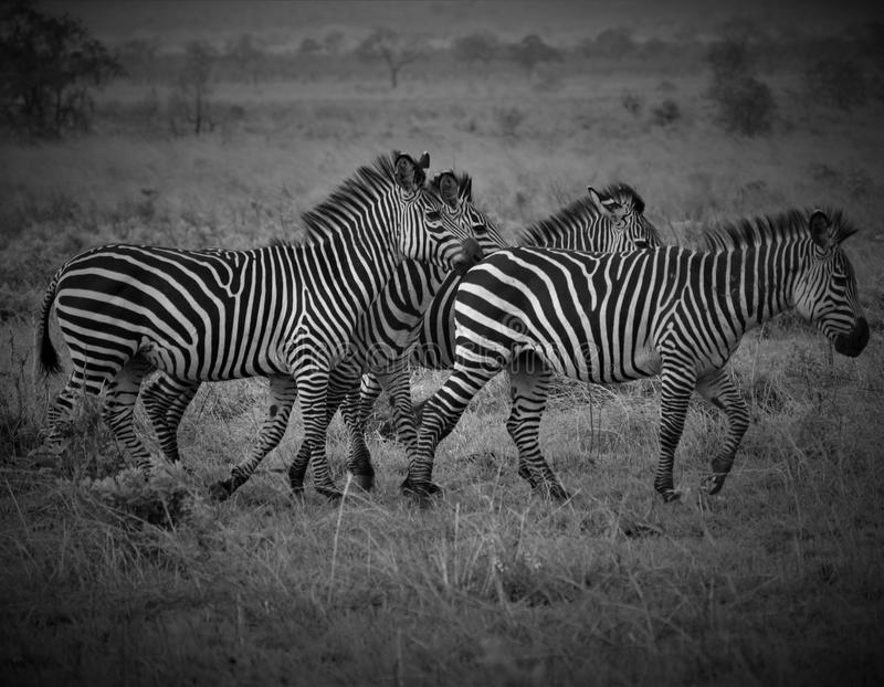 Four zebras in African savanna royalty free stock photo