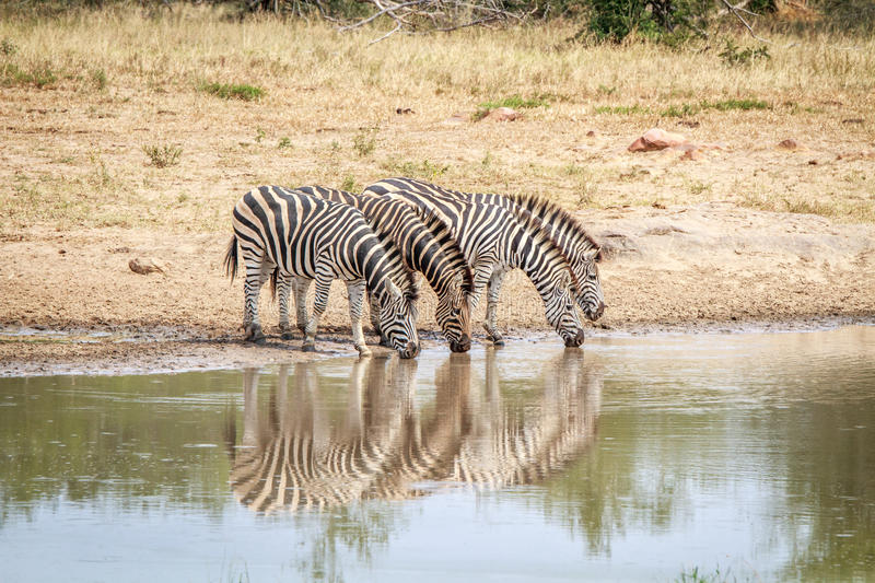 Download Four Zebras Drinking. Stock Photo - Image: 83720678