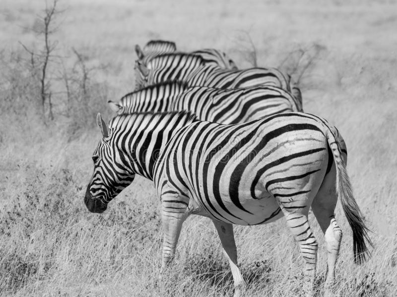 Four zebras in a row. Black and white picture of four zebras in Etosha National Park, Namibia royalty free stock images