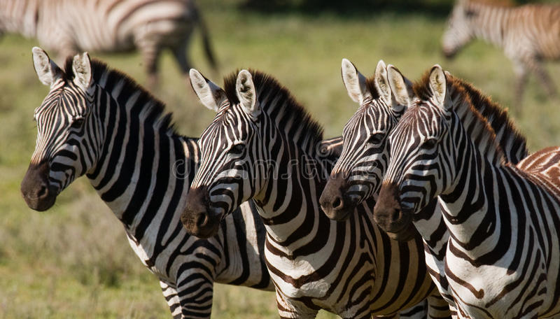 Four zebras stand together. Kenya. Tanzania. National Park. Serengeti. Maasai Mara. An excellent illustration stock images
