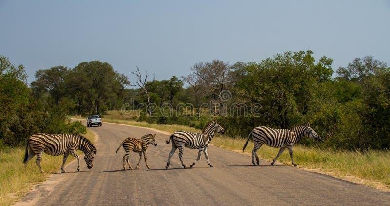 Four zebras walking across a road royalty free stock photo