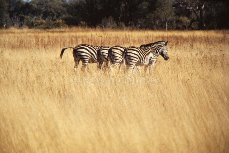 Four zebras walking aligned in an african savanna with copy space for your text royalty free stock photography
