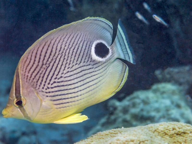 Foureye butterflyfish, Chaetodon capistratus zdjęcie stock