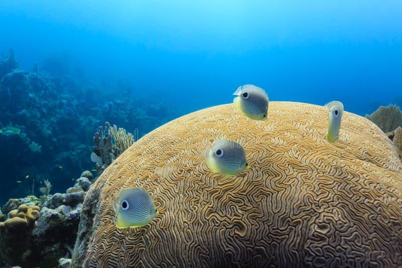 Foureye Butterflyfish chaetodon capistratus dopłynięcie nad móżdżkowy koral fotografia stock