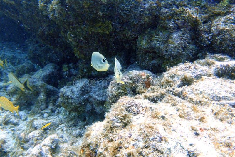 Foureye butterflyfish dopłynięcie wśród raf koralowych i skały zdjęcia royalty free