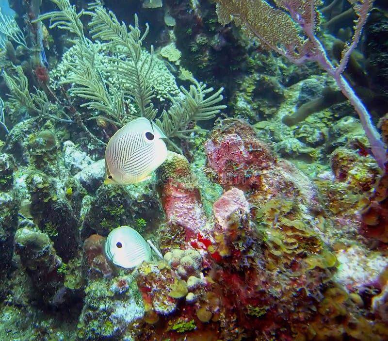Foureye Butterflyfish Pływają Karaiby rafę zdjęcia royalty free