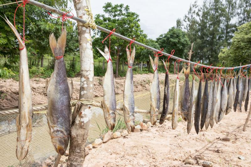 Fourfinger threadfin ή ινδικά ψάρια σκουμπριών σολομών και βασιλιάδων αποξηραμένα, παστά ψάρια στοκ φωτογραφίες με δικαίωμα ελεύθερης χρήσης