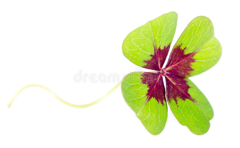 Fourleaved cloverleaf with stern. A fourleaved cloverleaf isolates before white background stock photo