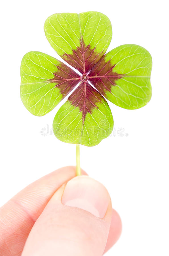A fourleaved cloverleaf between two fingers. A fourleaved cloverleaf is held with two fingers royalty free stock images