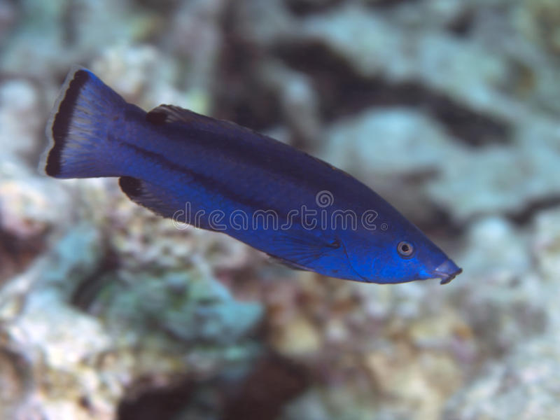 Fourline wrasse. In Red sea, Egypt, Hurghada stock image