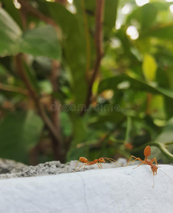 fourmi images libres de droits