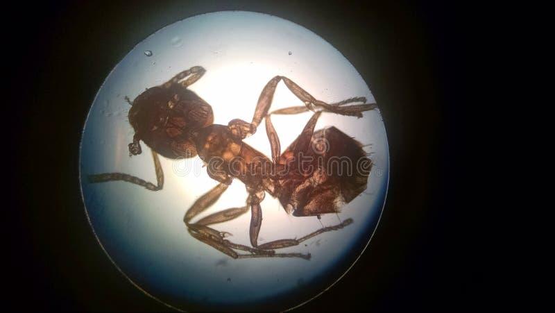 Fourmi dans le microscope image stock