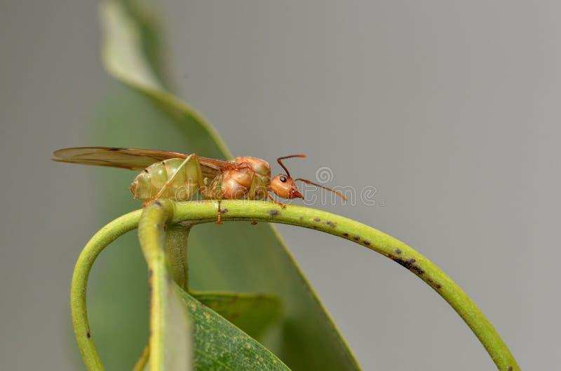 fourmi de reine photographie stock libre de droits