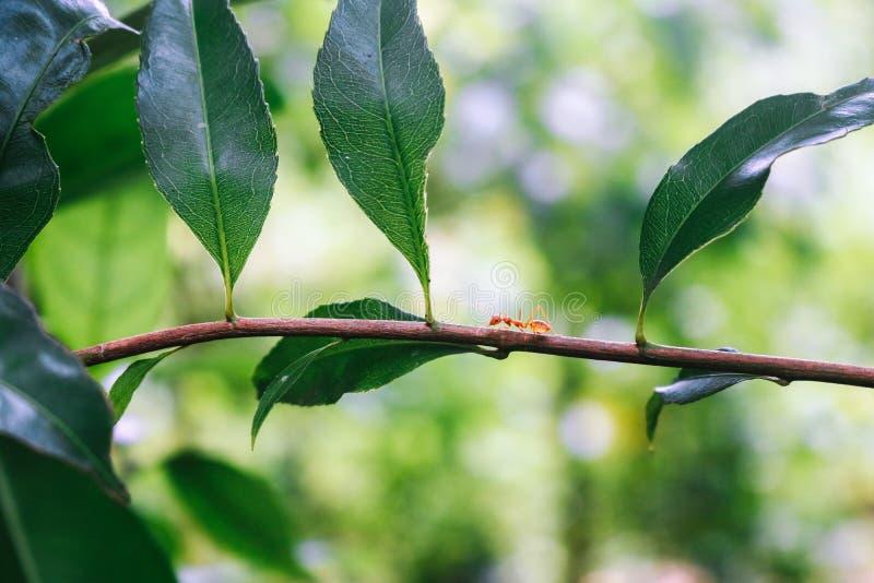 Fourmi de tisserand seul marchant sur une branche d'arbre photo stock