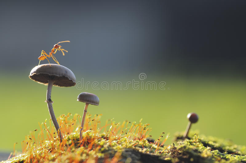 Fourmi de tisserand sur un champignon photos stock