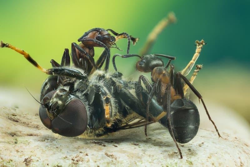 Fourmi en bois, fourmi, fourmis, rufa de formica photo libre de droits