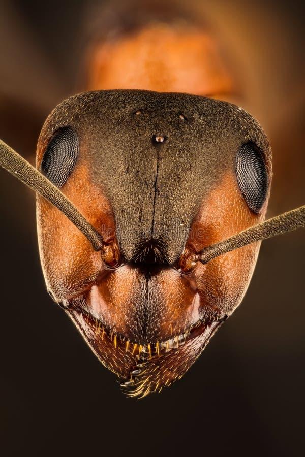 Fourmi en bois, fourmi, fourmis, rufa de formica photos stock
