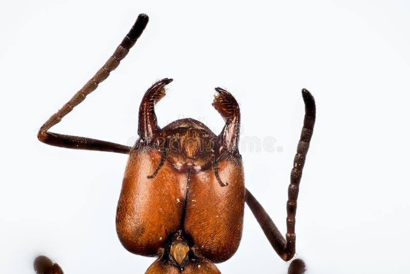 Fourmi en bois, fourmi, fourmis, rufa de formica images stock