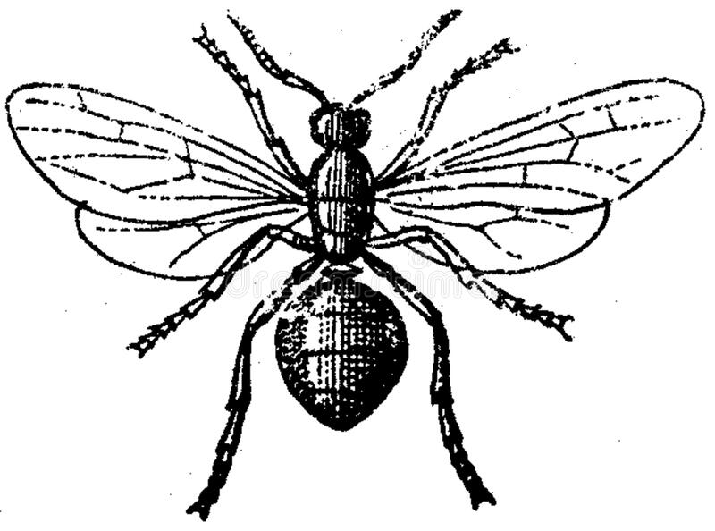 Fourmi-femelle Free Public Domain Cc0 Image