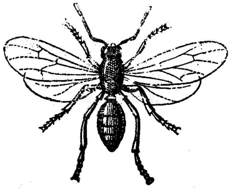 Fourmi-mâle Free Public Domain Cc0 Image