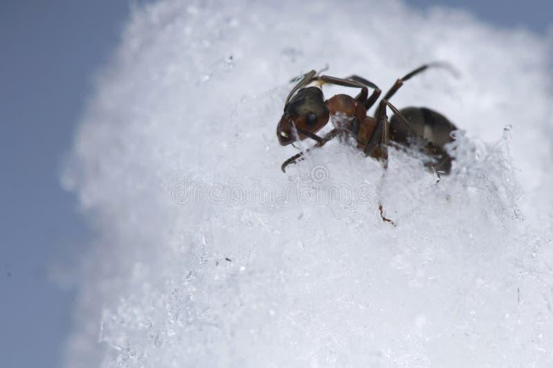 Fourmi - rufa de formica photos libres de droits
