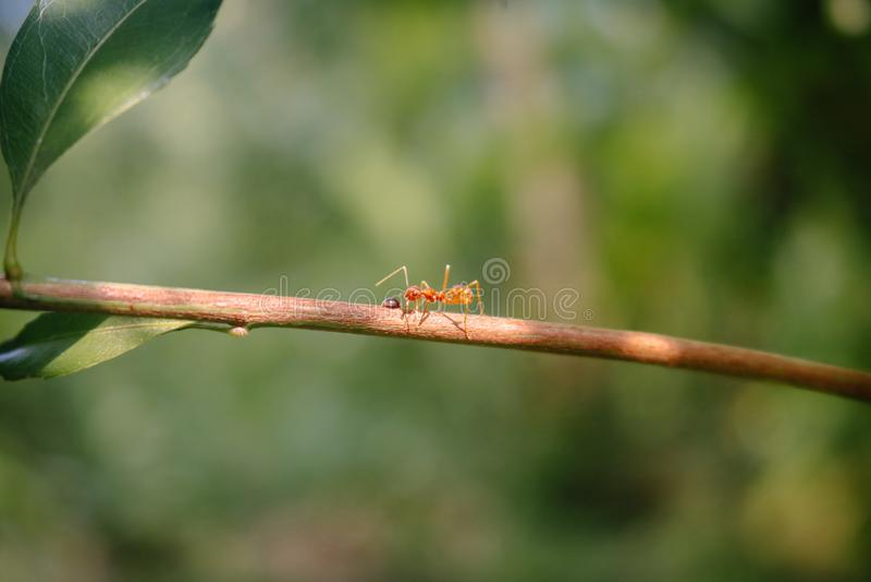 Fourmi seul marchant une fourmi de tisserand de branche image libre de droits