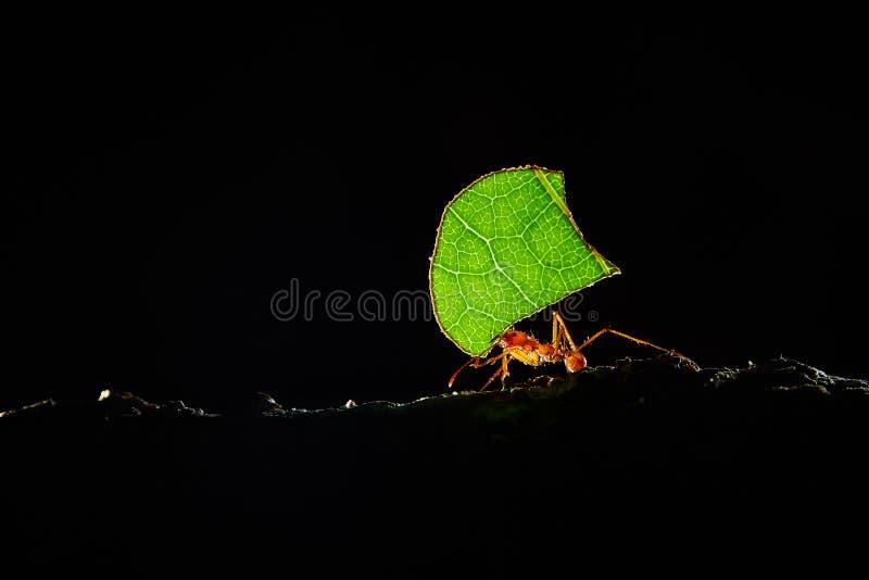 Fourmis d'Atta, fourmis de Leafcutter, Costa Rica, macro d'un leafcutte rouge photos stock