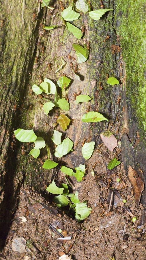 fourmis de Feuille-coupeur grimpant à un arbre photo stock