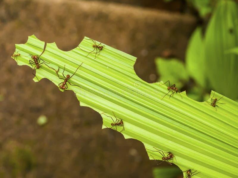 fourmis de Feuille-coupeur sur une feuille vert clair photographie stock libre de droits