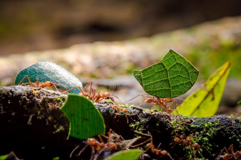 Fourmis de Leafcutter photographie stock libre de droits