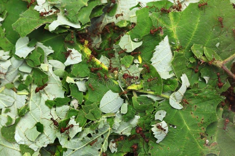 Fourmis de Leafcutter (sexdens d'Atta) images libres de droits