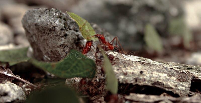 Fourmis de Leafcutter travaillant dur à la forêt photographie stock