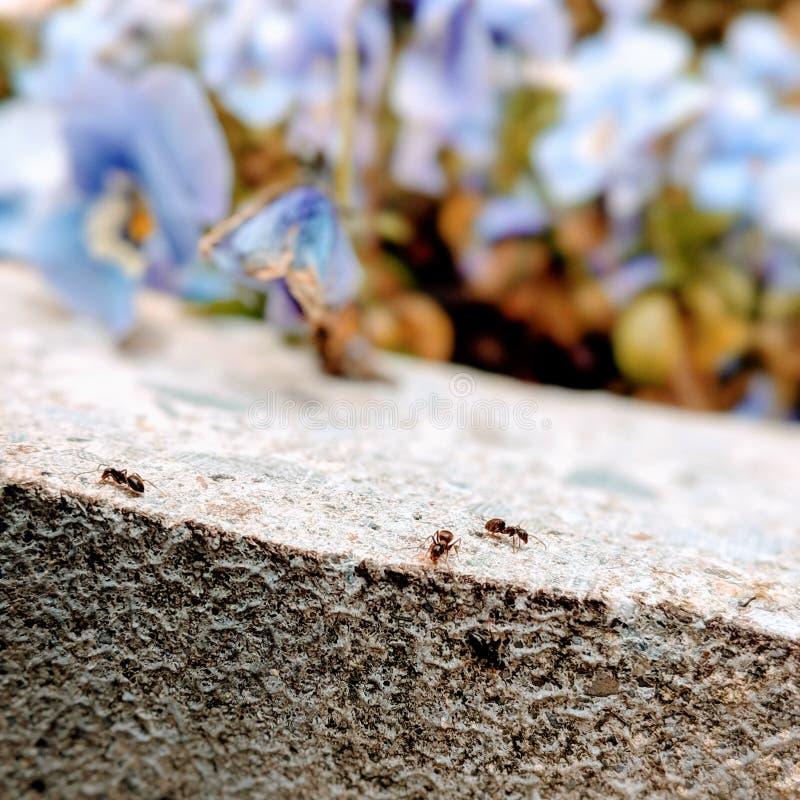 Fourmis dures au travail avec des fleurs images libres de droits